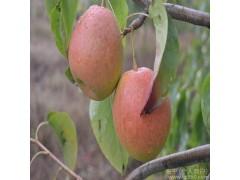 全国供应 会理县  有机健康  香园梨  大凉山特色水果  中华蜜梨 果中之王欢迎在线洽谈